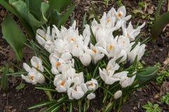 Бутоны blossoming белого крокуса цветут в предыдущей весне Стоковые Фотографии RF