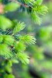 бутоны spruce стоковая фотография rf