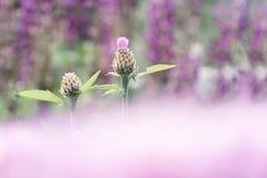 Бутоны Wo cornflower на предпосылке кровати цветков с запачканным передним планом розового цвета стоковые изображения