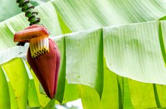 Бутон банана на дереве с мягкой зеленой предпосылкой стоковое фото rf