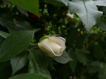Бутон белой розы в саде весной Стоковые Изображения RF