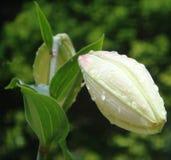 Бутон белой лилии Стоковые Изображения