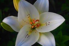 Бутон белой лилии стоковая фотография rf