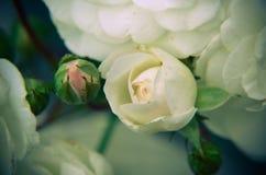 Бутон белой розы на предпосылке сада отпочковывает новая Стоковые Изображения