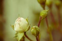 Бутон белой розы на предпосылке сада отпочковывает новая Стоковое Изображение