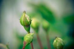 Бутон белой розы на предпосылке сада отпочковывает новая Стоковое Фото