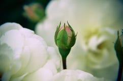 Бутон белой розы на предпосылке сада отпочковывает новая Стоковая Фотография RF