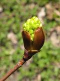 Бутон весны дерева клена Стоковое Изображение RF