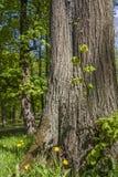 Бутон весны и старые деревья Стоковые Изображения