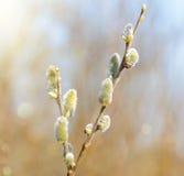бутон ветвей отпочковывается верба весны Красивая желтая верба pussy цветет ветви Стоковое Фото