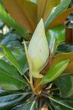 Бутон дерева магнолии Стоковое Изображение RF