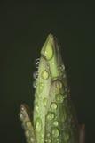 Бутон лилии Стоковые Фотографии RF