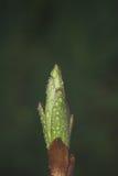 Бутон лилии Стоковые Фото