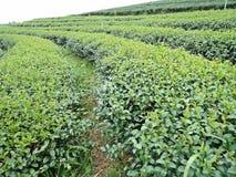 Бутон и листья зеленого чая в плантациях чая Стоковое Изображение