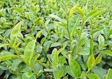 Бутон и листья зеленого чая в плантациях чая Стоковые Изображения