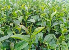 Бутон и листья зеленого чая в плантациях чая Стоковое фото RF