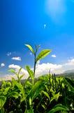 Бутон и листья зеленого чая. Плантации чая Стоковая Фотография RF
