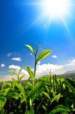 Бутон и листья зеленого чая. Стоковые Фотографии RF