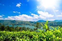 Бутон и листья зеленого чая. Стоковые Изображения RF