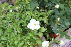Бутон и отпочковываться белых цветков стоковая фотография rf