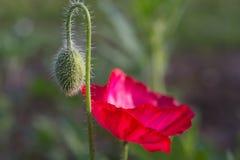 Бутон и цветок мака Стоковые Изображения