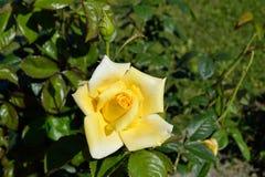 Бутон и цветок розы желтого цвета Стоковые Изображения