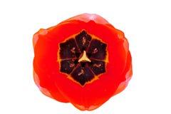 Бутон красного цветя тюльпана Стоковая Фотография RF