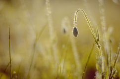 Бутон мака склонности в солнечном свете Стоковое Изображение