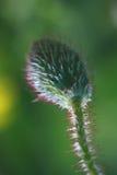 Бутон мака Стоковая Фотография