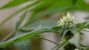 Бутон марихуаны в ветви акции видеоматериалы