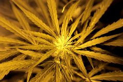 Бутон марихуаны макроса неполовозрелый Стоковое Фото