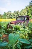 Бутон между полем солнцецветов стоковое фото