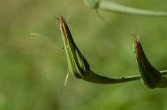 бутон полевого цветка Стоковое Изображение RF