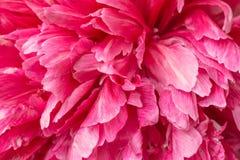 Бутон розового белого цветка Стоковая Фотография