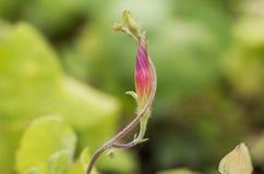 Бутон розового вьюнка стоковая фотография rf