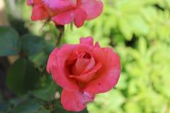 Бутон розы пинка в саде стоковые изображения rf
