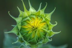 Бутон солнцецвета на ферме Андерсона Стоковые Изображения RF
