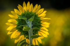 Бутон солнцецвета на ферме Андерсона Стоковое фото RF