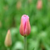 Бутон тюльпана Стоковое фото RF