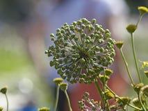 Бутон лука в саде Стоковые Фотографии RF