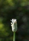 Бутон лука цветения Стоковые Изображения RF