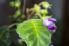 Бутон фиолетового Gloxinia Стоковые Фотографии RF