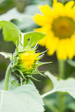 Бутон цветения солнцецвета Стоковая Фотография RF