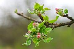 бутон цветения Стоковые Фото