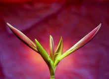 бутон цветет красный цвет лилии Стоковые Фотографии RF