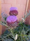 Бутон цветка артишока Стоковое Изображение