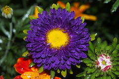 Бутон цветка астры стоковое изображение rf