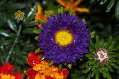 Бутон цветка астры стоковые фото