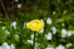 Бутон цветка ветреницы против белых цветков на предпосылке Стоковые Фотографии RF