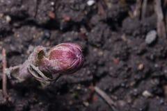 Бутон цветка в предыдущей весне, зацветая мать-и-мачеха, farfara tussilago, макросе с фокусом предпосылки bokeh селективным Стоковое Изображение RF